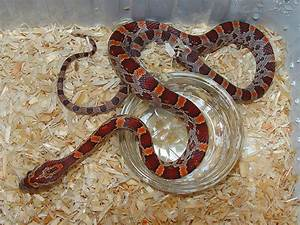 Ians Vivarium :: Normal Cornsnake