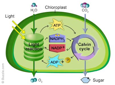 Where In The Chloroplast Do The Light Reactions Occur by Photosynthesis Inside Chloroplast Of Plant Cell