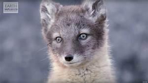 Diagram Of Arctic Fox