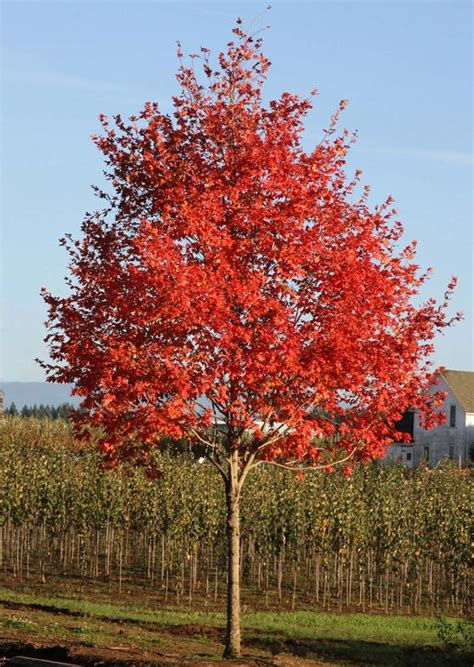 sienna glen maple wilson nurseries