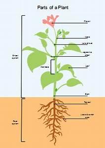 Free Plant Diagram Templates