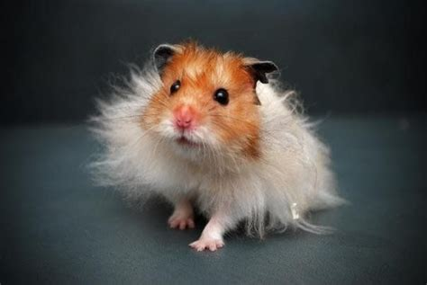 hamster names 25 best ideas about long haired hamster on pinterest list of common animals peruvian guinea