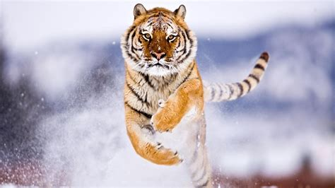 Tiger, Snow, Attack, Animals Wallpapers Hd / Desktop And