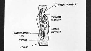 Wiring And Diagram  Diagram Of Vertebral Column