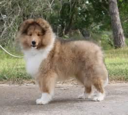 shetland sheepdog dog puppy dog gallery