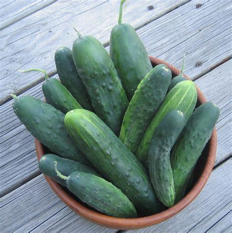 Salatgurken Anbauen Im Eigenen Garten by Gurken Hintergr 252 Nde Anbau Ernte Konservierung Plantura