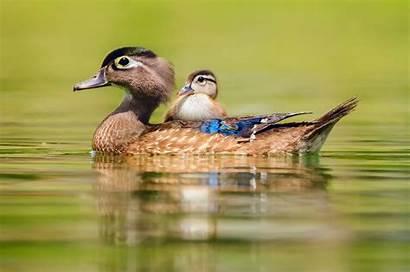 Animals Duck Ente Enten Water Wasser Tiere