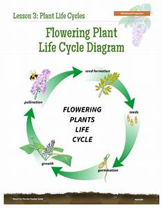 Life Cycle Of A Flowering Plant Diagram