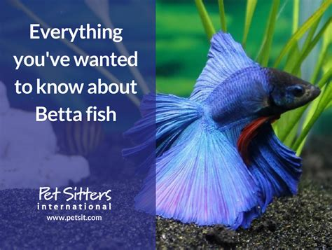 youve wanted    betta fish
