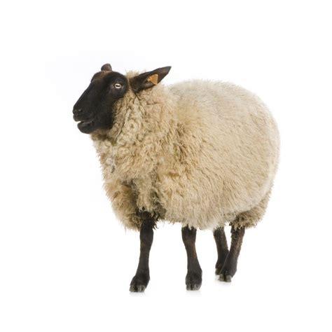 sticker mural mouton de profil animaux de la ferme