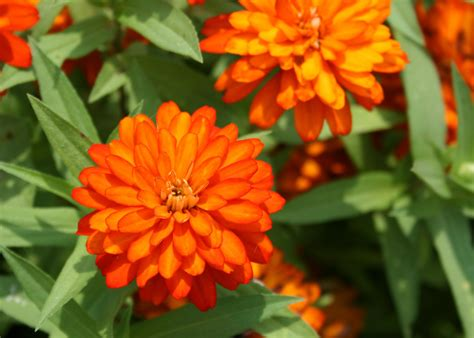 zinnias  easy  grow bring blooms  summer