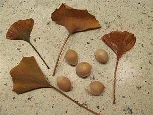 Ginkgo Samen Kaufen : 6 ginkgo samen f cherbaum ginkgo biloba ginko lebendes ~ Lizthompson.info Haus und Dekorationen