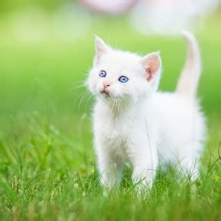 Cute White Cat Baby New Hd Image Wallpapers Rocks Cats