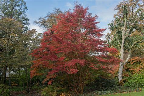 japanese stewartia tree care  growing guide