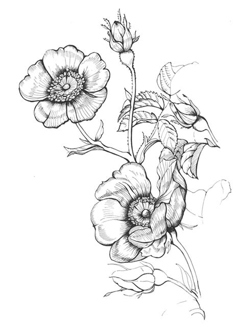Wild Rose Drawing at GetDrawings | Free download