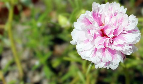 foto macro bunga krokot jepretan hari  web loveheaven