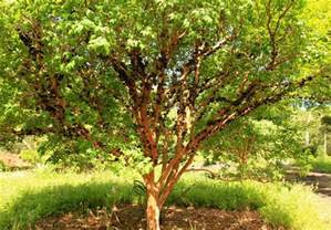 Outdoor Tree Planters by Jabuticaba The Beautiful Tree That Grows The Fruit On