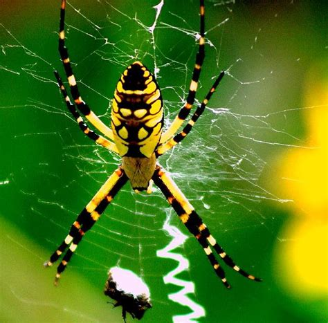 Are Black And Yellow Garden Spiders Poisonous by 6 Things You Need To About Black And Yellow Garden Spider
