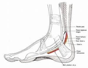 Tibial Nerve  L5  U2013 S2