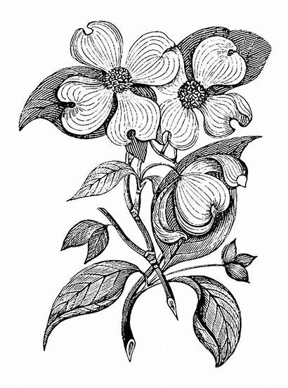 Botanical Flowers Stamp Dogwood Digital Leaves Branch