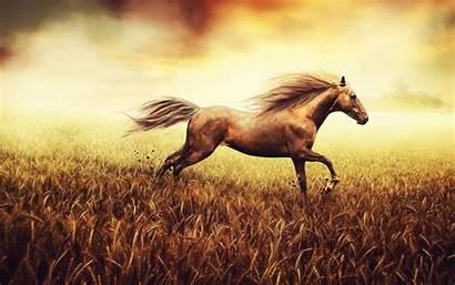 Horse Running Horses Desktop Wallpapers Stallion Cornfield