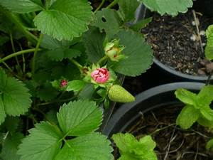 My Edible Fruit Trees: Strawberry Trees VIC