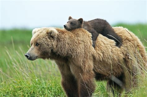 Animal Cubs Wallpapers - animals bears baby animals cubs wallpapers hd desktop