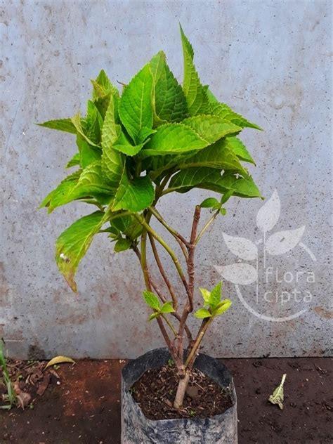 jual arrival tanaman hias bibit bunga hortensia bunga