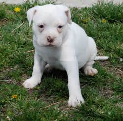 White American Bulldog Puppies