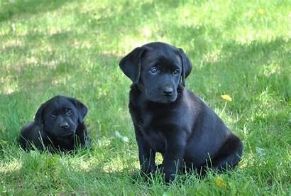 Lab Puppies Puppy Desktop Labrador Background Labs