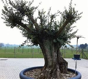 Planter Un Olivier En Pot : les oliviers inspirations desjardins ~ Dailycaller-alerts.com Idées de Décoration