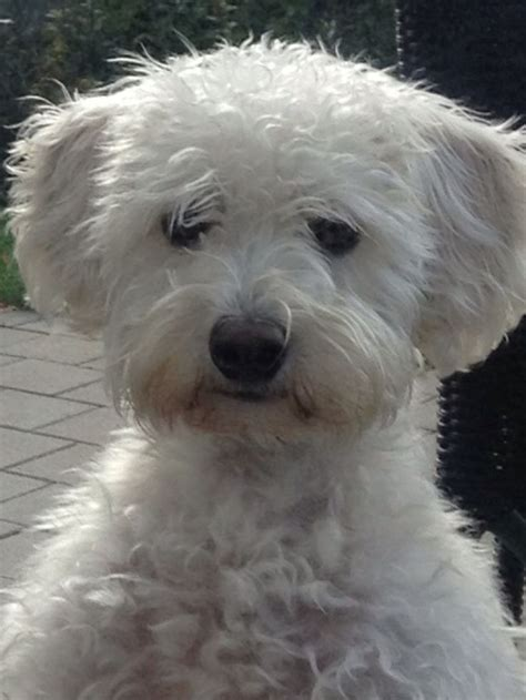 coming   family  august  white schnoodle