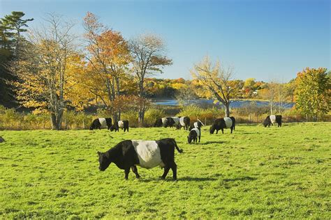 Belted Galloway Cows Grazing On Grass In Rockport Farm ...