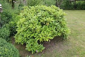 Rhododendron Blüht Nicht : anleitung rhododendron schneiden wann ist der perfekte zeitpunkt ~ Frokenaadalensverden.com Haus und Dekorationen