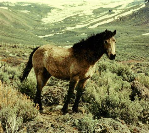 curly horses bashkir did originate american jim registry