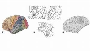 Brain Anatomy Labeled