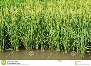 Rice Plants Stock Image  Image Of Leaves  Season  Asia