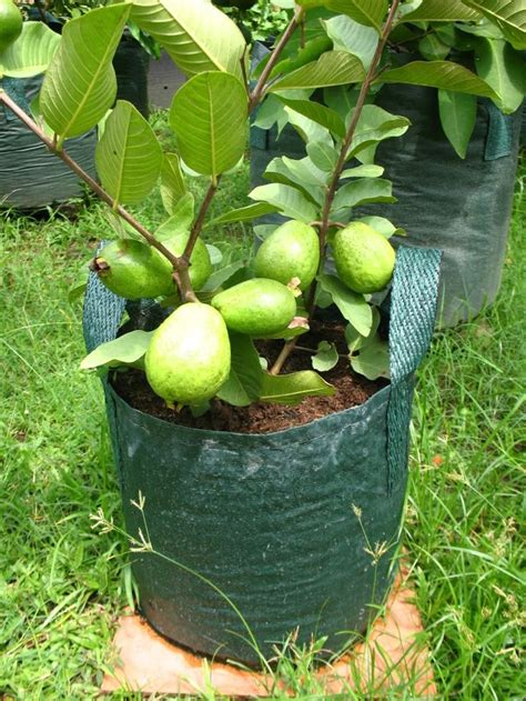 fruit in pot 315 best images about projects to try on trees bonsai trees and olive tree