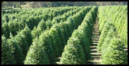 christmas tree farms in sacramento best places to buy trees 171 cbs sacramento