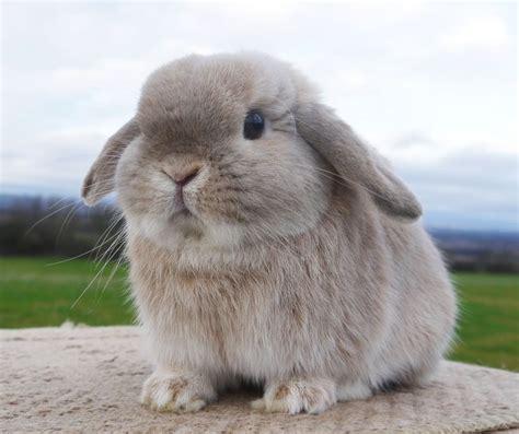 lop rabbit 35 best bunnies images on pinterest baby bunnies bunnies and rabbits