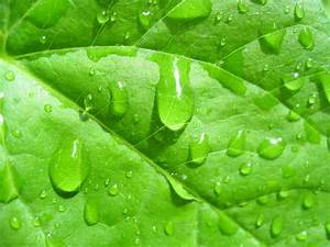 Water Drops On The Leaves Free Stock Photo - Public Domain ...