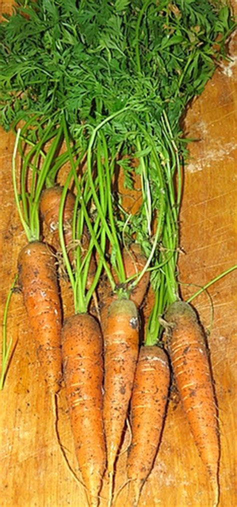 Container Gardening Carrots  Hs Blog
