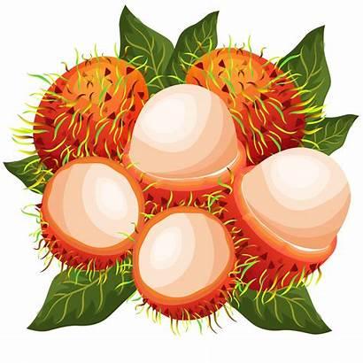 Vector Rambutans Rambutan Clipart Fruit Illustration Exotic