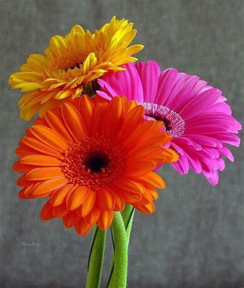colorful gerber daisies flowers flower art gerbera