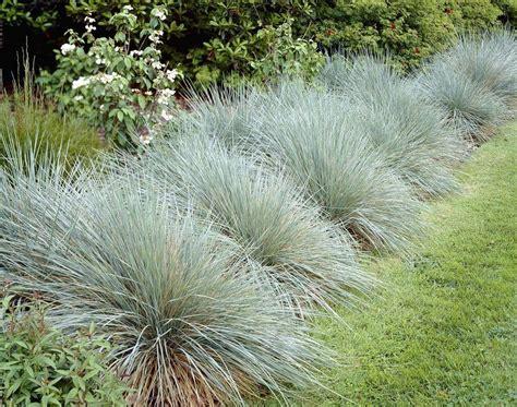 blue oat grass helictotrichon sempervirens sapphire blue oat grass