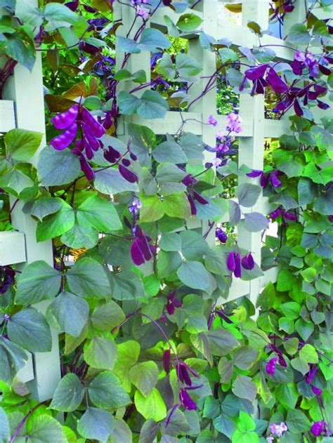 Climbing Plant Purple Flowers  Woodworking Projects & Plans