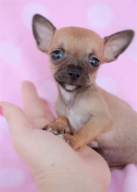 tiny chihuahuas  sale  teacups puppies south florida