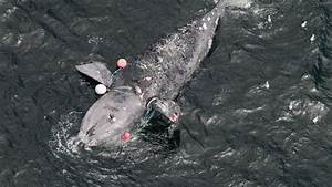 The North Atlantic Right Whale Faces Extinction