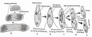 Reproduction in Paramecium | kullabs.com