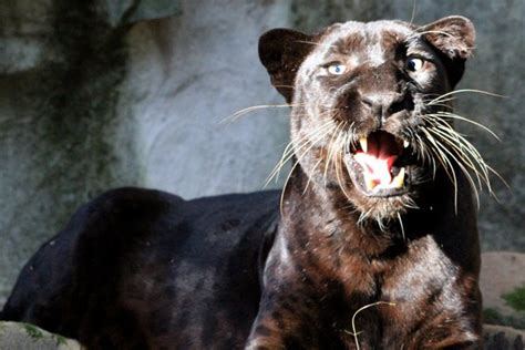 black panther facts big cat rescue